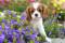 Порода собак Кавалер кинг чарльз спаниель - описание, характер, характеристика, фото Кавалер кинг чарльз спаниелей и видео, цена