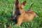 Порода собак Тайский риджбек - описание, характер, характеристика, фото Тайских риджбеков и видео, цена