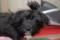 Порода собак Русская цветная болонка - описание, характер, характеристика, фото Русских цветных болонок и видео, цена