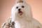 Порода собак мальтийская болонка - описание, характер, характеристика, фото мальтезе и видео, цена
