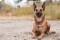 Порода собак Малинуа - описание, характер, характеристика, фото Бельгийской овчарки Малинуа и видео, цена