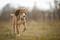 Порода собак салюки - описание, характер, характеристика, фото салюки и видео, цена