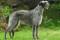 Порода собак дирхаунд - описание, характер, характеристика, фото Шотландского дирхаунда и видео