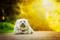 Порода собак Гаванский бишон - описание, характер, характеристика, фото Гаванских бишонов и видео, цена
