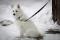 Порода собак Японский шпиц - описание, характер, характеристика, фото Японских шпицев и видео, цена