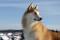 Порода собак лайка - описание, характер, характеристика, фото лайки и видео, цена
