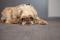 Порода собак гриффон - описание, характер, характеристика, фото гриффонов и видео, цена