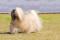 Порода собак Лхаса апсо - описание, характер, характеристика, фото Лхасского апсо и видео, цена