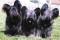 Порода собак скай-терьер - описание, характер, характеристика, фото скайтерьеров и видео, цена