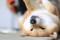 Японская собака Сиба-ину - описание породы, фото Шиба Ину, характер, содержание и уход