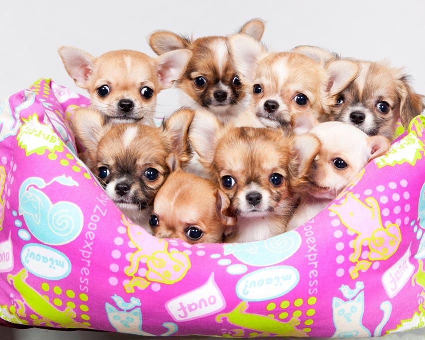 Порода собак: чихуахуа - характеристика и описание чихуахуа, фото, содержание и уход