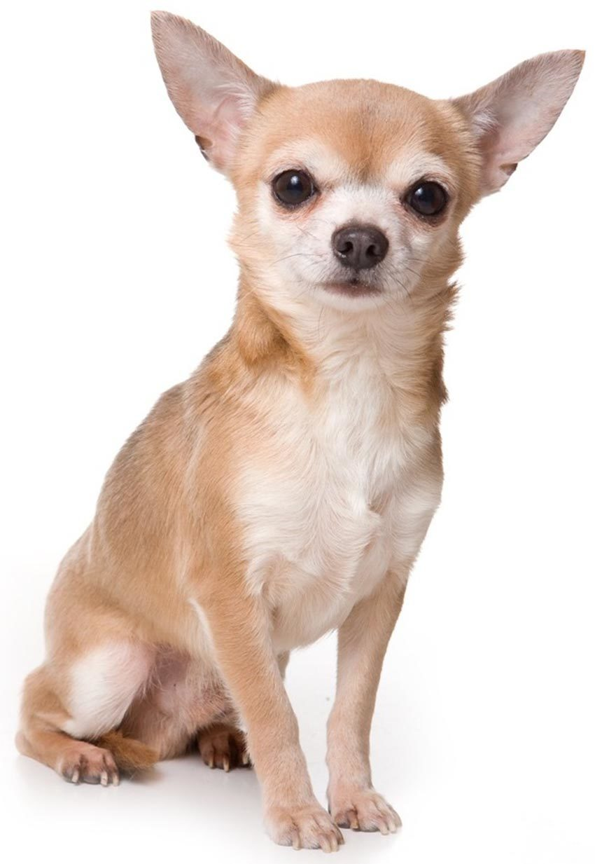 Фото собаки Чихуахуа - описание породы, характеристика