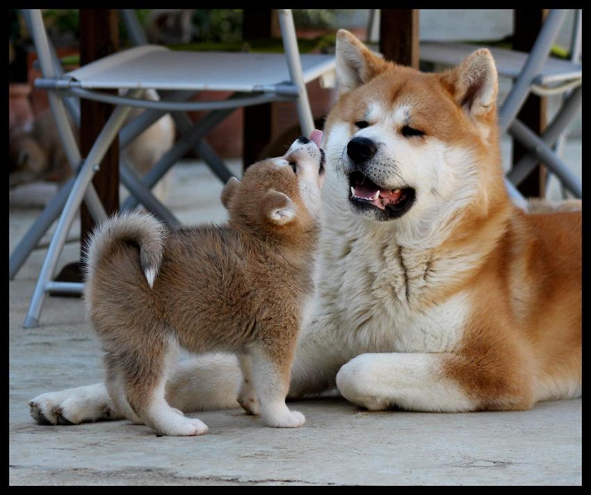 Как выбрать щенка акита-ину