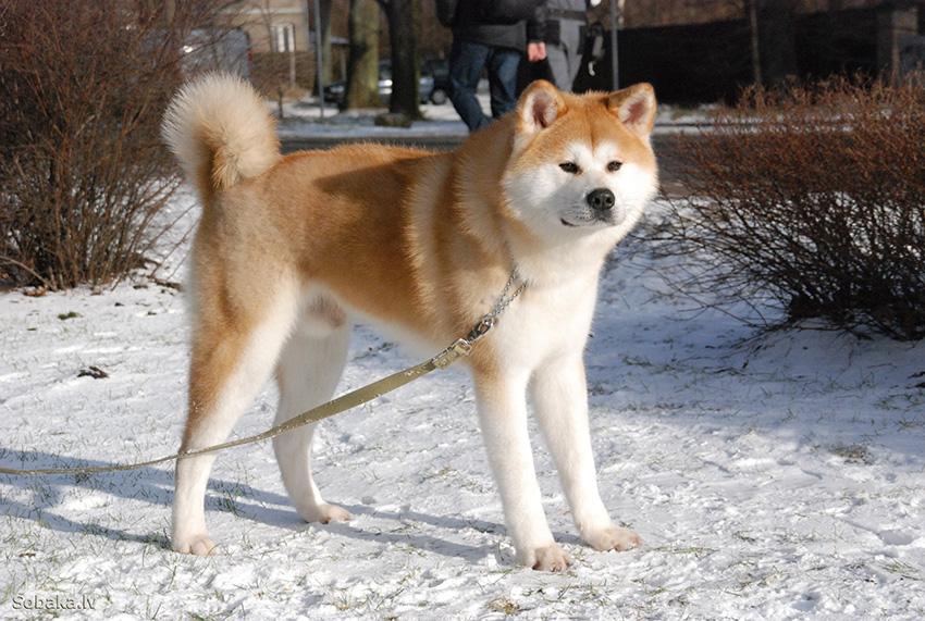 Прогулки с собакой акита-ину