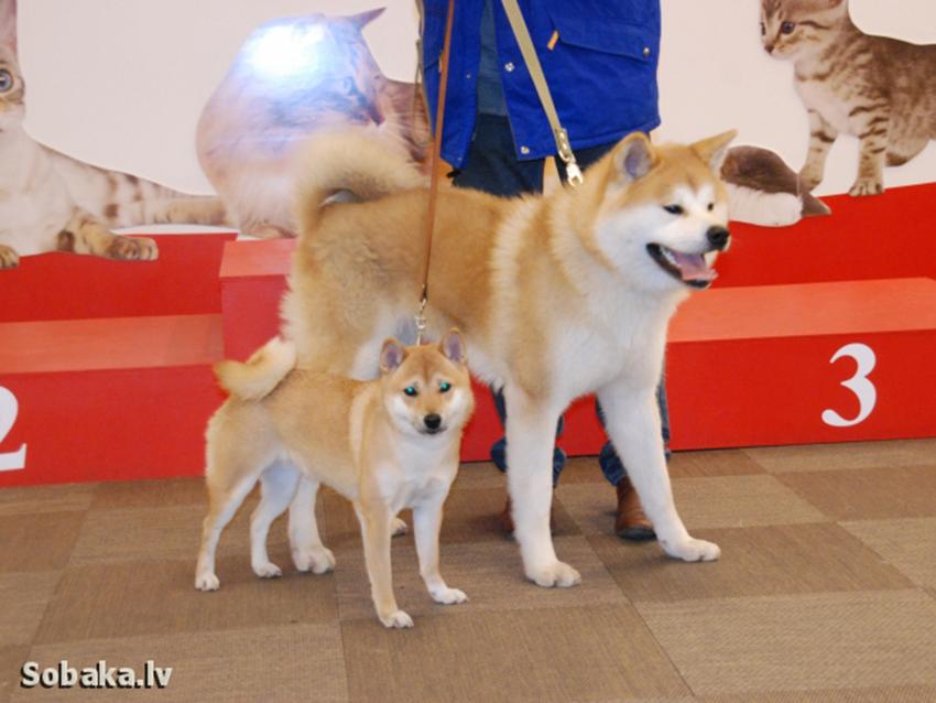 отличие собак сиба-ину и акита-ину - akita and shiba