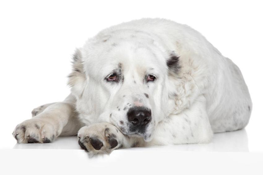 Всё о породе алабай - фото собаки среднеазиатской овчарки - описание породы, характер алабаев, содержание и уход