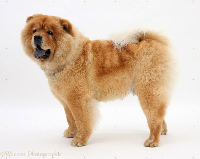 История собаки чау-чау