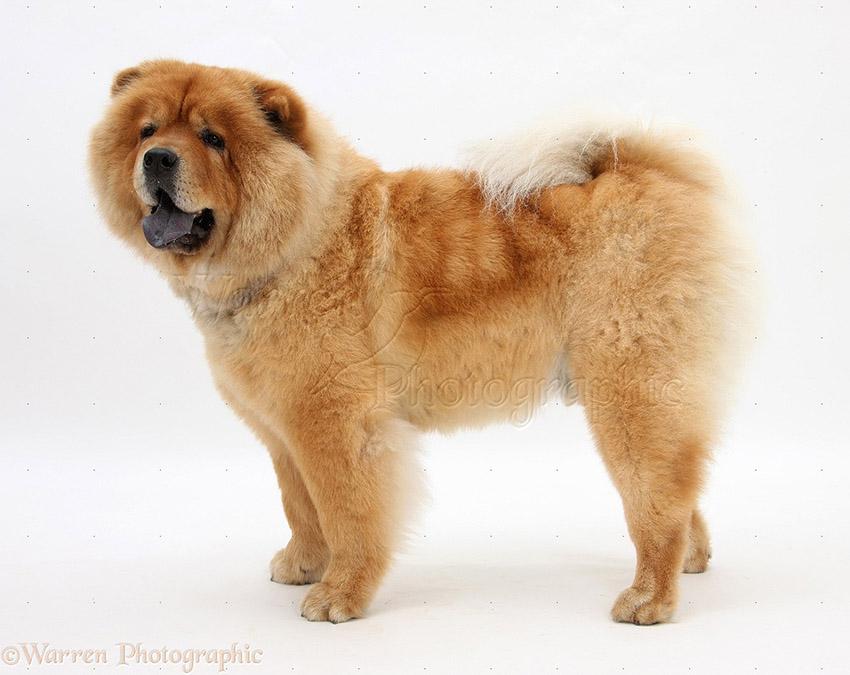 Собака Чау-чау - описание породы, характеристика, фото чау-чау, видео