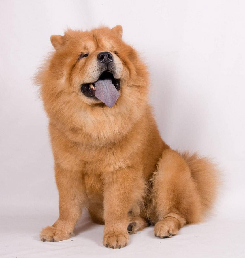 Фото собаки чау-чау - описание породы, характер, содержание и уход