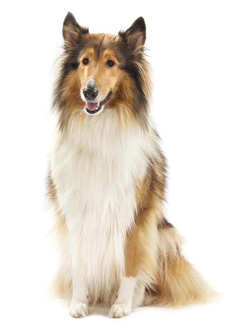 Все о колли - фото собаки, описание породы, характер и уход