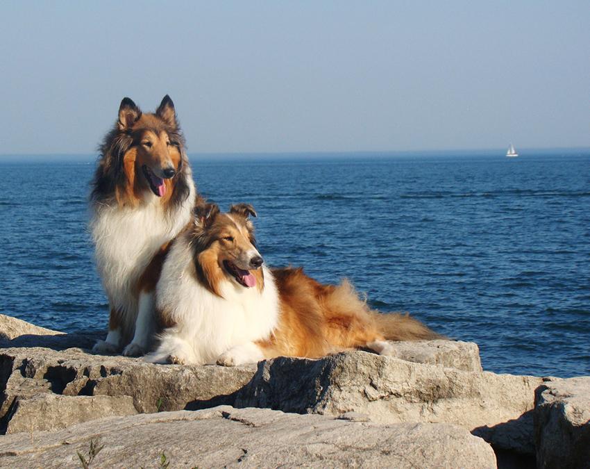 Выбор собаки колли