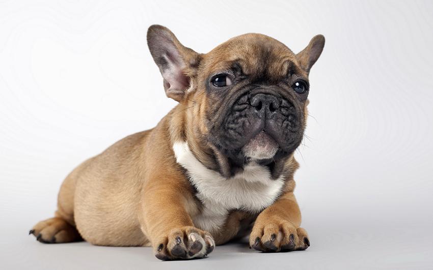 Фото собаки Французский бульдог - описание породы, характеристика, уход и многое другое