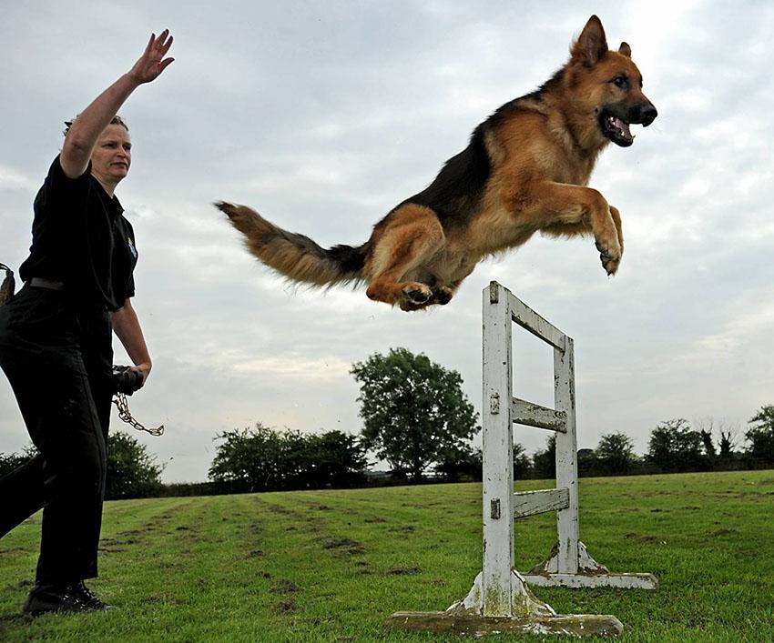 Воспитание  немецкой овчарки и дрессировка собак