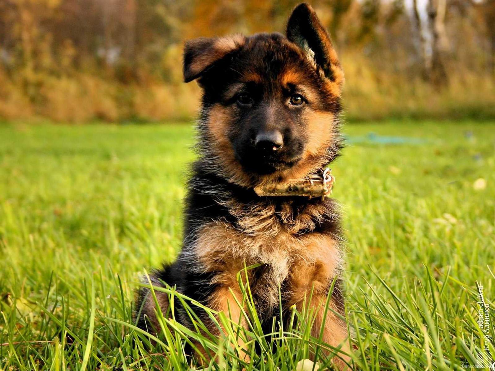 Порода собак немецкая овчарка - описание, характер ...