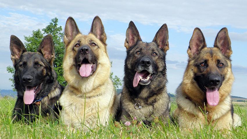 Немецкая овчарка - окрас собак