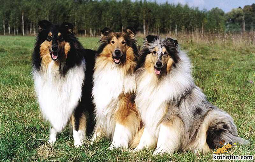 Окрас колли - стандарт породы собак