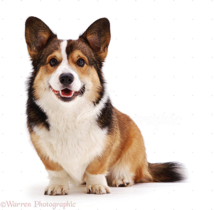 Собака породы вельш-корги - фото, описание, характеристика, уход
