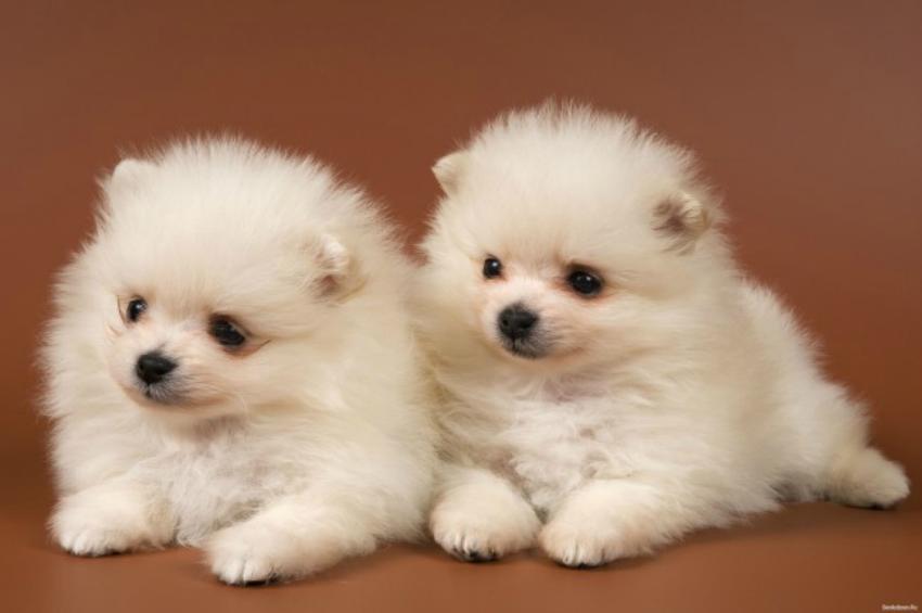 Два беленьких померанских шпица