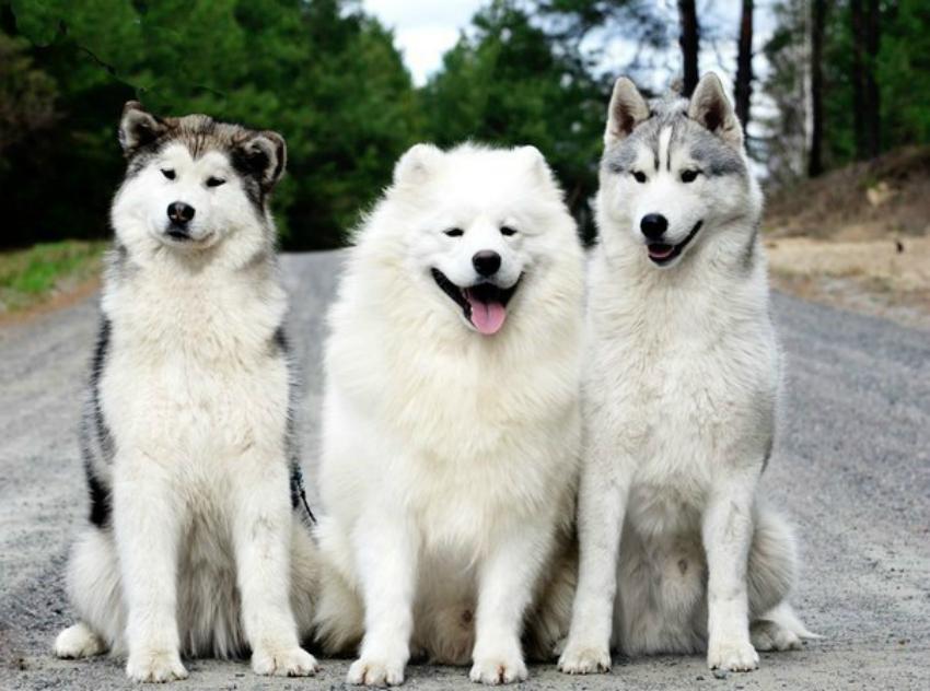 На фото собака хаски и смежные породы