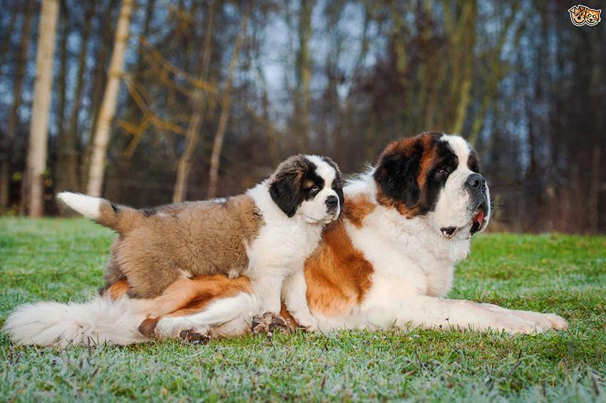 Уход за сенбернаром и содержание собаки