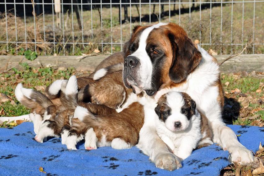 Беременность сенбернаров и роды