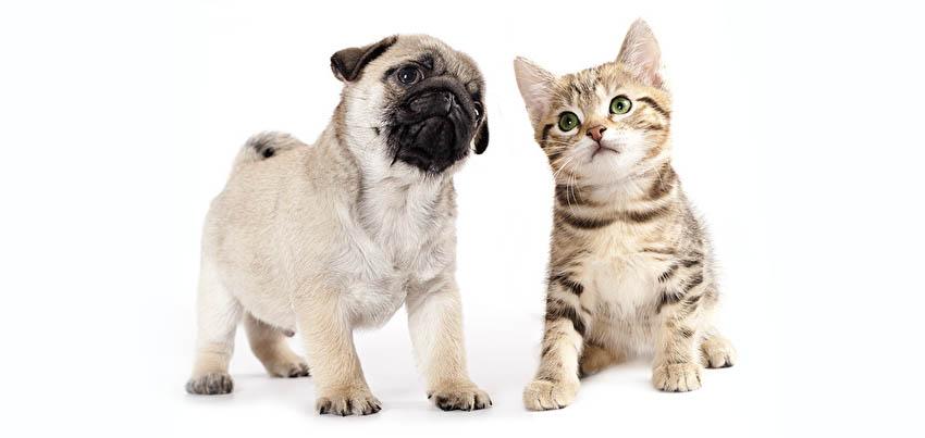 На фото щенок мопса и котенок - отзывы владельцев породы