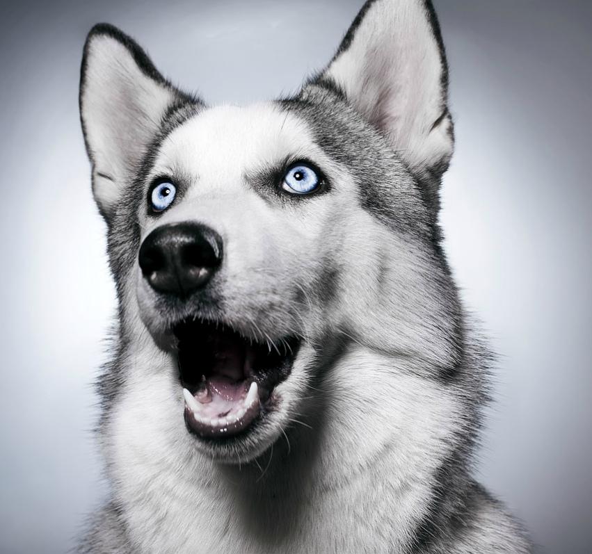 Фото собаки сибирский хаски - описание породы, характер, содержание и уход