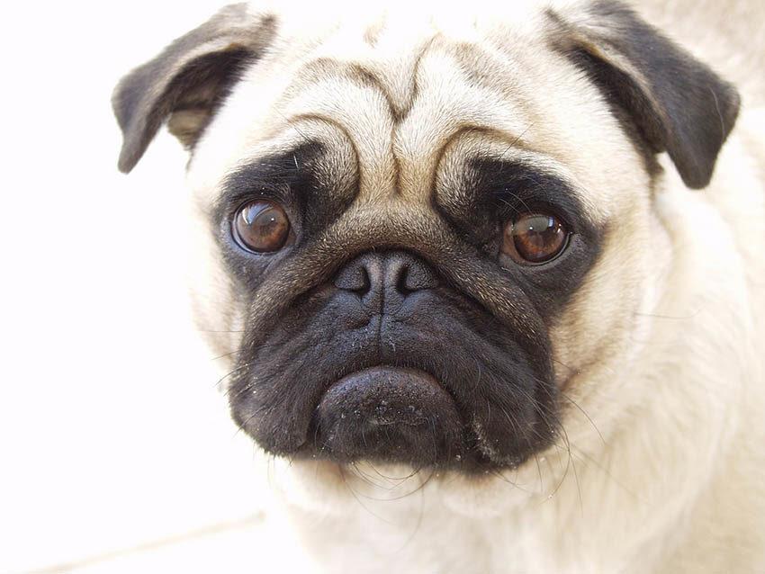 Собака породы мопс - фото, описание, характеристика, уход