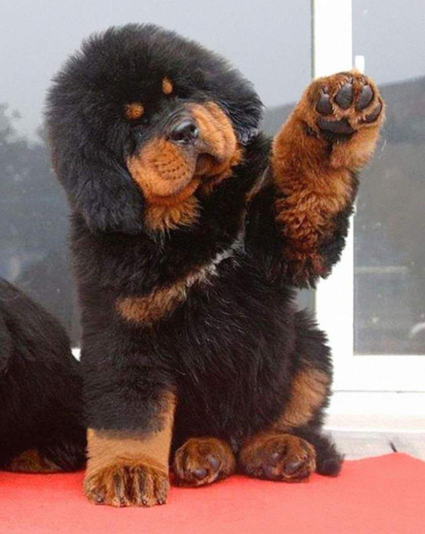 Питание тибетского мастифа - сколько и чем кормить щенка
