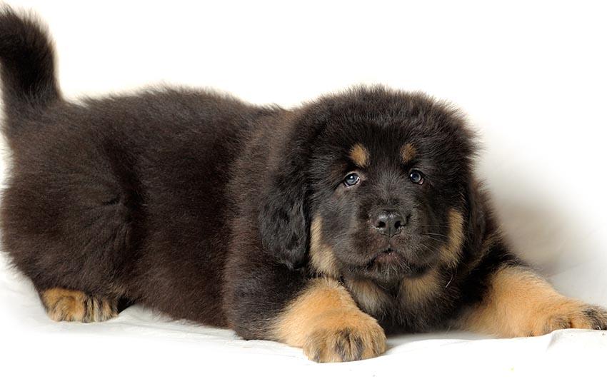 Фото щенка собаки тибетский мастиф - описание породы, характеристика, содержание и уход