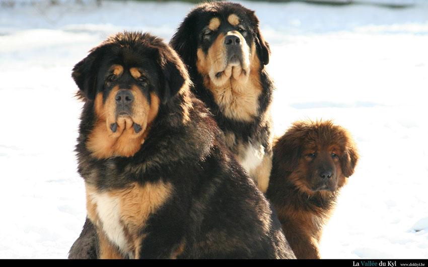 Беременность тибетских мастифов и роды