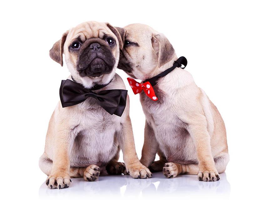 Вязка мопсов - собака девочка целует мальчика