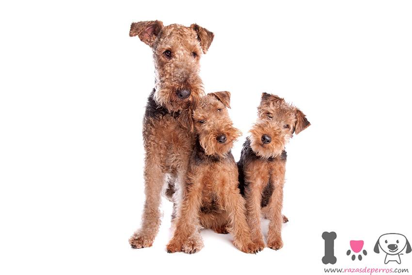 Эрдельтерьер со щенками
