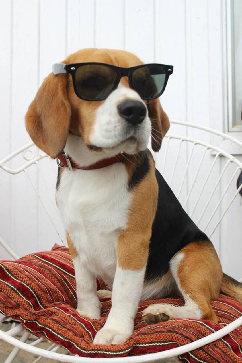 Бигль в солнцезащитных очках