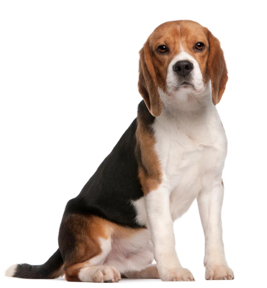 Всё о породе бигль - фото собаки бигль - описание породы, характер, содержание и уход