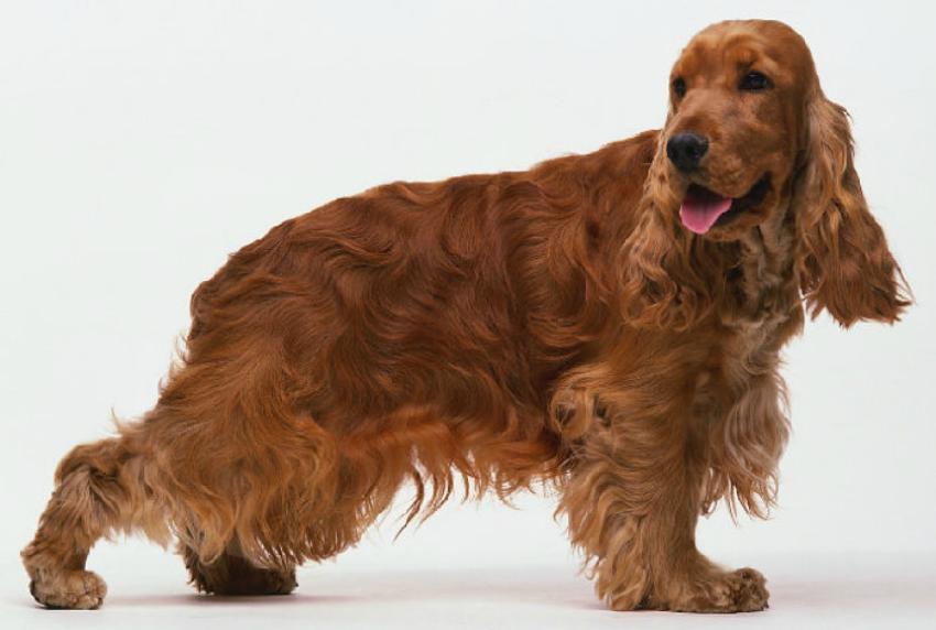 Фото собаки английский кокер-спаниель