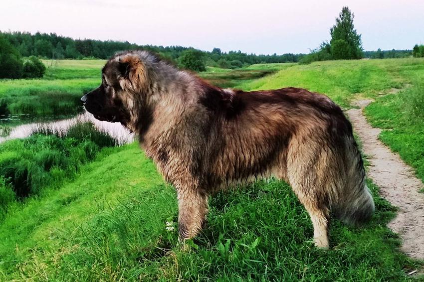Прогулка с кавказской овчаркой - сколько надо гулять с собакой
