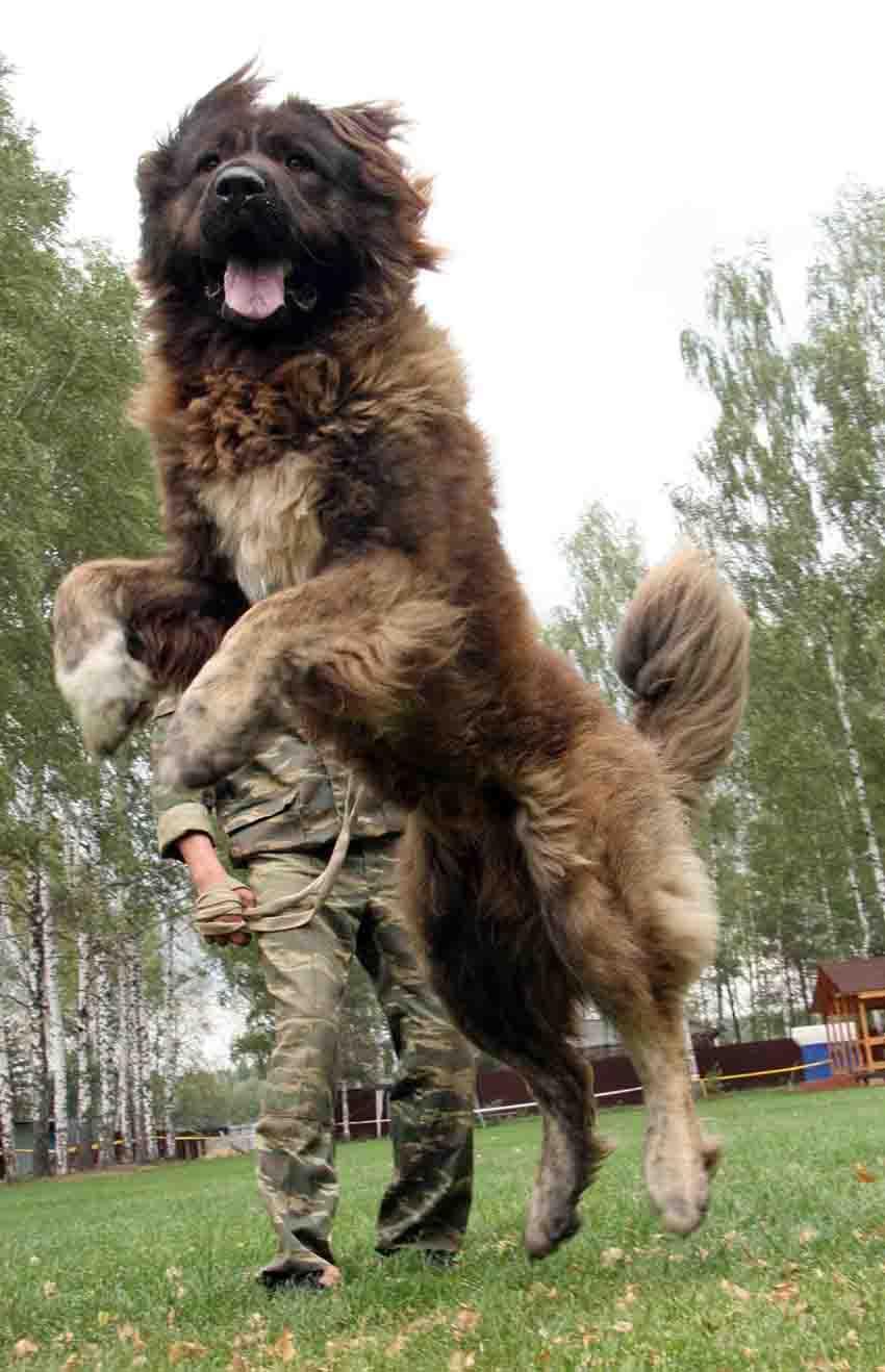 Дрессировка кавказской овчарки и воспитание собак