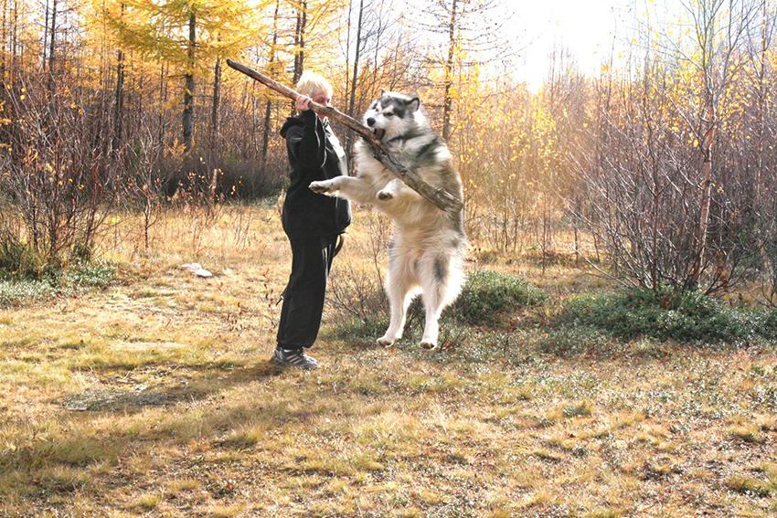 Дрессировка Аляскинского маламута и воспитание собаки
