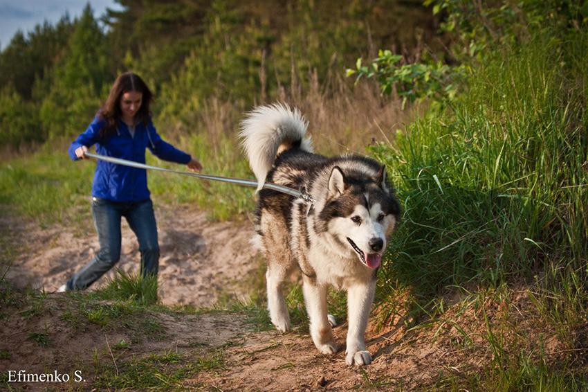 Аляскинский маламут на прогулке - сколько надо гулять с собакой